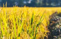 国家粮食出口政策变化引关注 商务部:中国粮食产能充沛 2020年粮食生产形势总体向好 消费者无须囤粮「图」