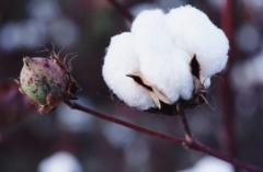 人为因素撬动市场 棉花价格缓步上涨的可能性较大