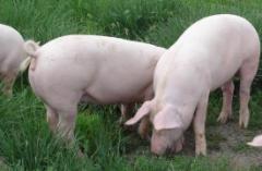 生猪存栏数据隐现拐点 是否意味着猪价上涨趋势进入尾声?「图」