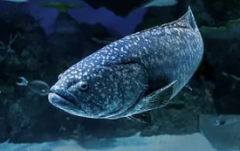 石斑鱼养殖业发展现状及方向分析,石斑鱼养殖产业表现出非常好的发展势头「图」