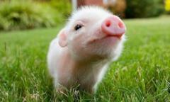 2020年下半年伴随生猪产能恢复,猪价回落已成定局 能否做好成本控制或将成为竞争关键「图」