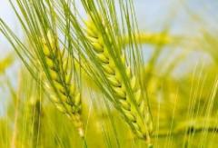 2020年我国小麦相关产业链发展现状及未来趋势分析,产业链下游产品种类呈现多样化特点「图」