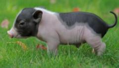 """我国生猪产业的""""芯片""""--种质资源,九成以上从国外引种扩繁 别让本土猪绝种了「图」"""