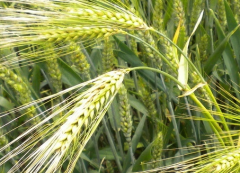 2020年我国大麦产业发展现状及进出口情况分析,进口大麦挤压国产大麦市场空间现象加剧「图」