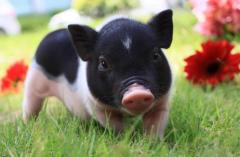 生猪产能显著恢复市场供应充足2021年猪价为何持续下跌?