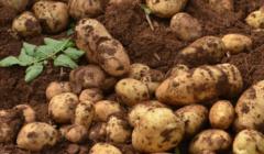 2020我国马铃薯种植业产业分析与未来市场展望,马铃薯加工方向市场前景较大「图」