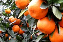 2020年中国柑桔行业发展现状及趋势分析,着力强化全产业链建设「图」