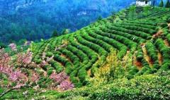 发展农业产业效果显著!贵州茶叶产量超43万吨,茶色飘香 收入高涨!「图」
