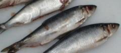 中国鲱鱼捕捞量及进出口量分析,冻鲱鱼出口量降低「图」