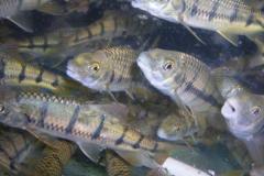 我国石斑鱼养殖情况分析,养殖产量逐渐替代捕捞「图」