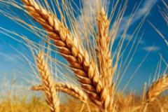 全球及中国小麦发展现状分析,中国小麦产量居世界前列「图」