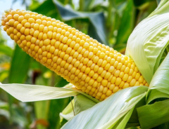 玉米价格高涨农户主动增产!气候变化会对农业和畜牧业产生负面作用,影响粮食产量「图」