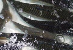 中国草鱼养殖业发展现状分析,草鱼市场消费低迷「图」