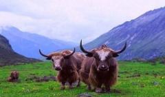中国牦牛行业发展现状及趋势分析,集约化和生态化是发展方向「图」