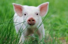 国内市场生猪价格连续6个月下降 农业农村部:加快建设现代化生猪养殖体系 缓解生猪周期性波动「图」