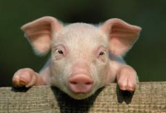 猪价持续回落 新希望8月份生猪销量环比增逾两成 2021年上半年生猪出栏同比增长34%