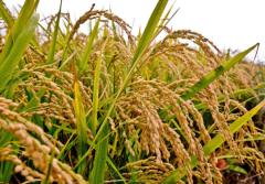 我市将持续落实各级粮食生产扶持政策春粮早稻喜获丰收