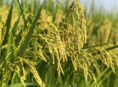 在全球需求强劲的同时持续推高国际小麦价格 国际食品价格为何持续攀升?