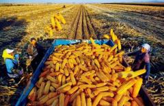 农业部回应,秋粮增产已成定局! 农村经济运行瞬速,整年粮食产量将再创新高!「图」
